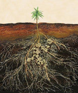 mycorrhiza image