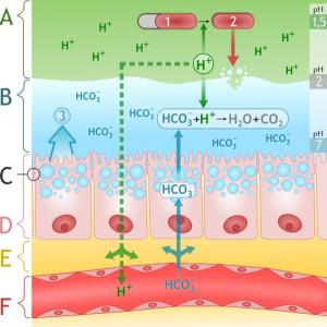 Diagram of Permeable Gut Membrane