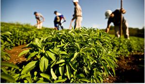 Stevia Crops